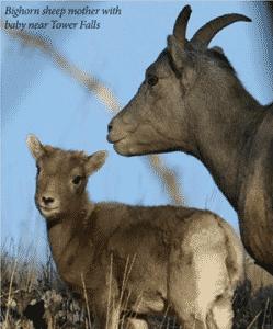 bighorn sheep yellowstone 1