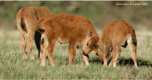 bison calves yellowstone 1
