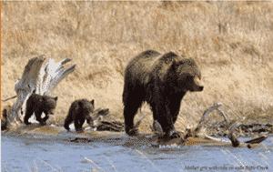 yellowstone bear 1