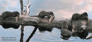 yellowstone otter 1