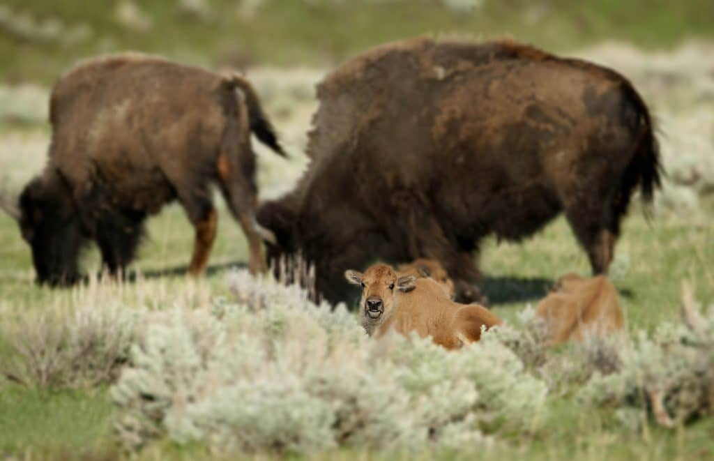bison calf...red dog near slough creek